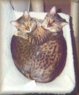 Marie's Bengal cats, Amber and Jet